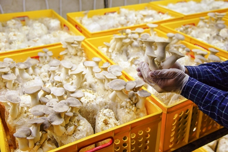 Commercial production of King Oyster mushroom